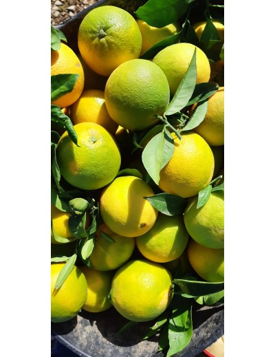 Acid oranges for juice: 15 kg box